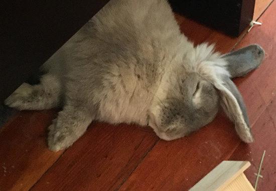 como cuidar de coelhos